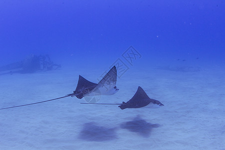 两条蝙蝠射线在美国夏威夷海床上游泳的水下视图图片