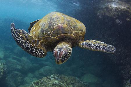 海龟在海洋中游泳的水下景色,夏威夷,美国图片