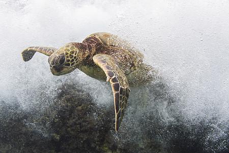 美国夏威夷海潮中海龟游泳的水下景色图片