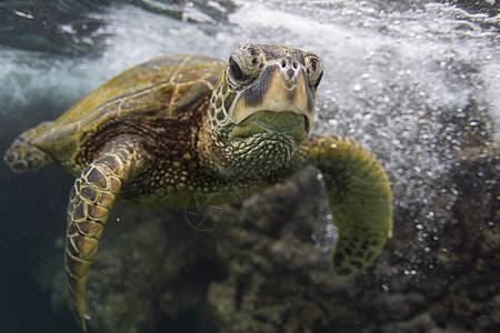 美国夏威夷的海龟在海洋中游泳的水下肖像图片