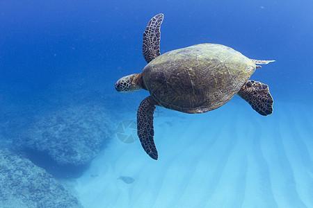美国夏威夷的海龟在海底游泳的水下景色图片