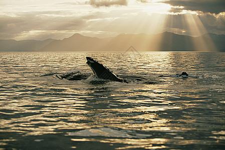 夕阳下的驼背鲸图片