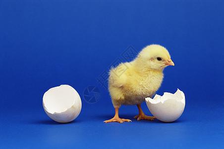 小鸡孵化图片