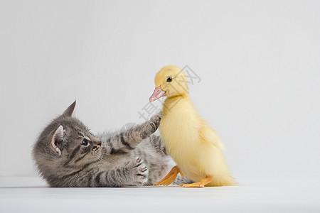 小猫和小鸭,摄影棚拍摄图片