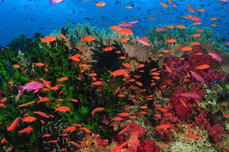五颜六色的鱼在珊瑚礁中游泳图片