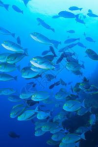 水下独角鱼图片