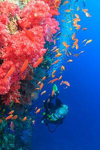 潜水员在珊瑚礁欣赏鱼图片