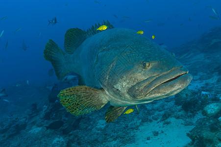 石斑鱼与领航鱼图片