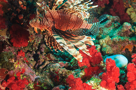 在珊瑚礁游泳的天使鱼图片