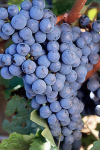 赤霞珠葡萄图片