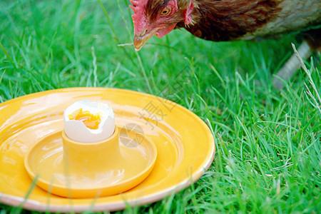 吃煮鸡蛋的鸡图片
