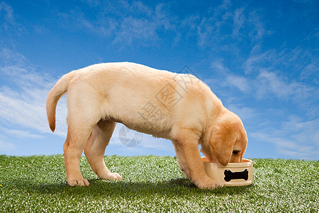 吃狗碗的拉布拉多小狗图片