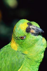 黄枕亚马逊鹦鹉图片