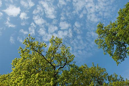 橡树和天空的低角度视图图片
