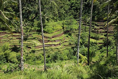 巴厘岛稻田图片