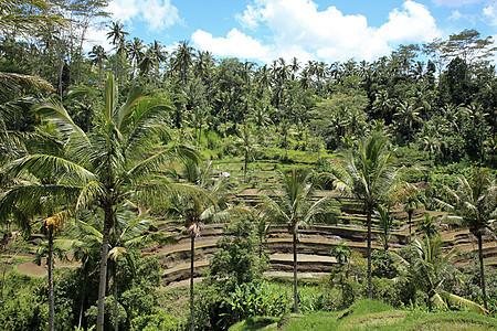巴厘岛的稻田和棕榈树图片