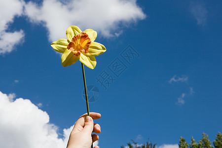 拿着水仙花的人图片