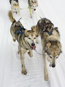 雪橇犬图片