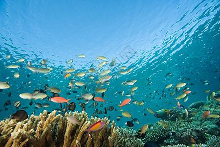 在西帕丹岛游动的鱼图片