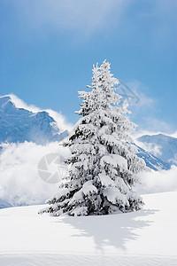 覆盖着雪的冷杉图片