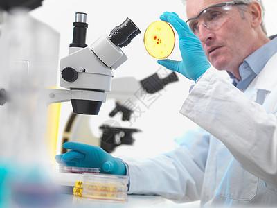 科学家检查培养皿图片