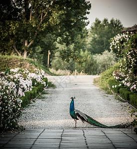 孔雀走在公园的路上图片