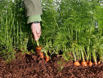 采摘胡萝卜的农场工人图片