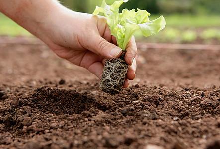 种植有机莴苣图片