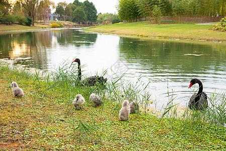 湖水边的丑小鸭和黑天鹅图片