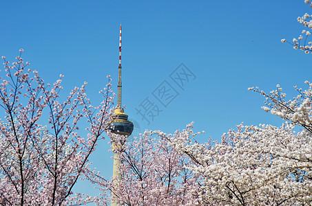 玉渊潭的樱花图片