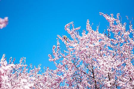 三月康普顿斯大学樱花景观图片