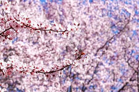 三月康普顿斯大学樱花花丛图片