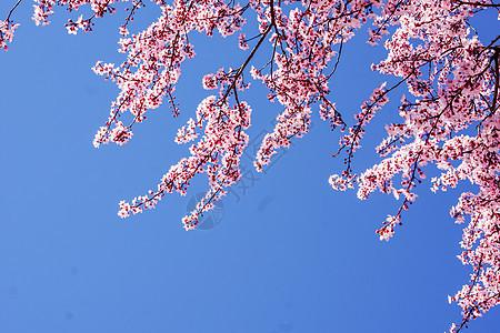 三月马德里康普顿斯大学樱花图片