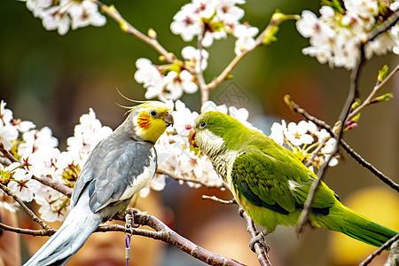 樱花与鹦鹉图片