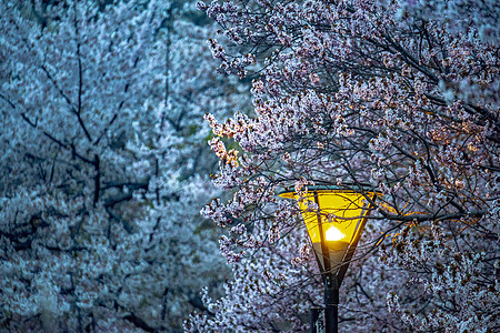 北京夜晚的樱花图片