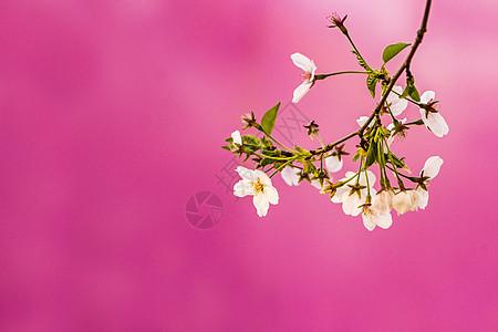 春天盛开的樱花图片