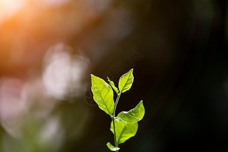 夕阳下清新萌芽叶子图片
