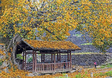 古榕树下的风雨桥图片
