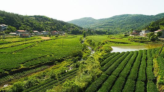 澧县乡村茶园图片