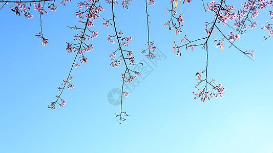 云南无量山樱花谷的樱花图片