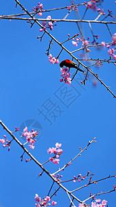 云南无量山樱花谷的樱花和小鸟图片