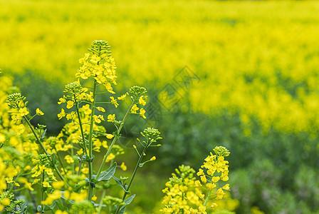 春天黄色的油菜花田图片