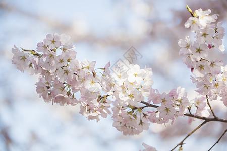 北京玉渊潭公园春天盛开的樱花图片
