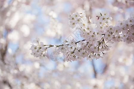 北京玉渊潭公园盛开的樱花图片