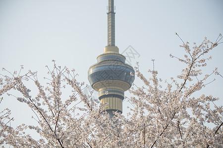 中央电视塔下的樱花图片