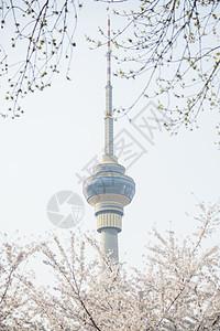 中央电视塔与樱花图片