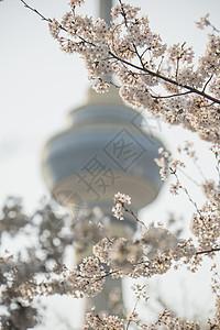 中央电视塔的樱花图片