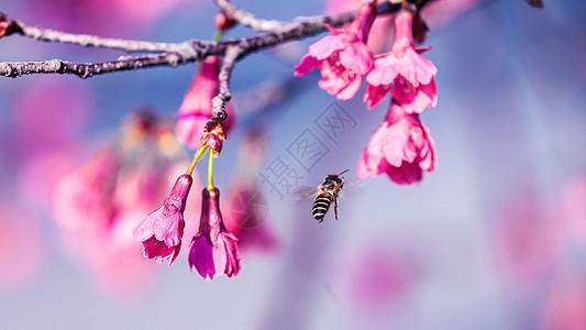 春天山樱花图片