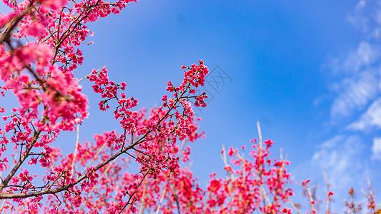 蓝天下的山樱花图片