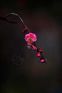 黑底梅花中国风意境图图片